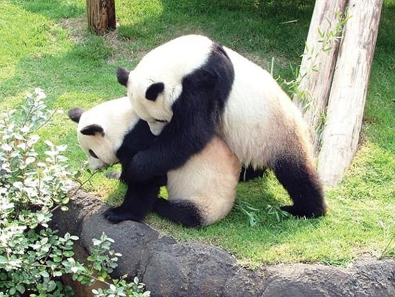 A new panda pregnancy test could help the Memphis Zoo determine when Le Le finally impregnates Ya Ya.