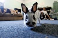 A rabbit attends class at the Farm School. - JUSTIN FOX BURKS