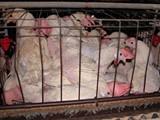 chickens-1.jpg