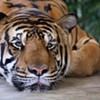 Arkansas State 47, Tigers 3