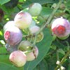 Blueberries: Picking, Cooking, Eating