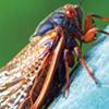 Cicadas in Memphis? Nope.