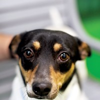 Mr. Rogers' Neighborhood Cinquitin (#A251112) 2-year-old male dachshund/Jack Russell mix  • At MAS since February 6th Microchipped, neutered, heartworm positive (requires letter from a vet) Justin Fox Burks