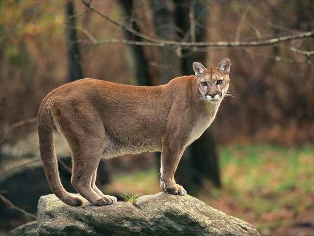 Mountain-Lion-Biology-and-Behavior.jpg