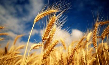 wheat10a.jpg