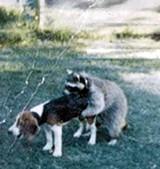 naifeh_raccoon_pic.jpg