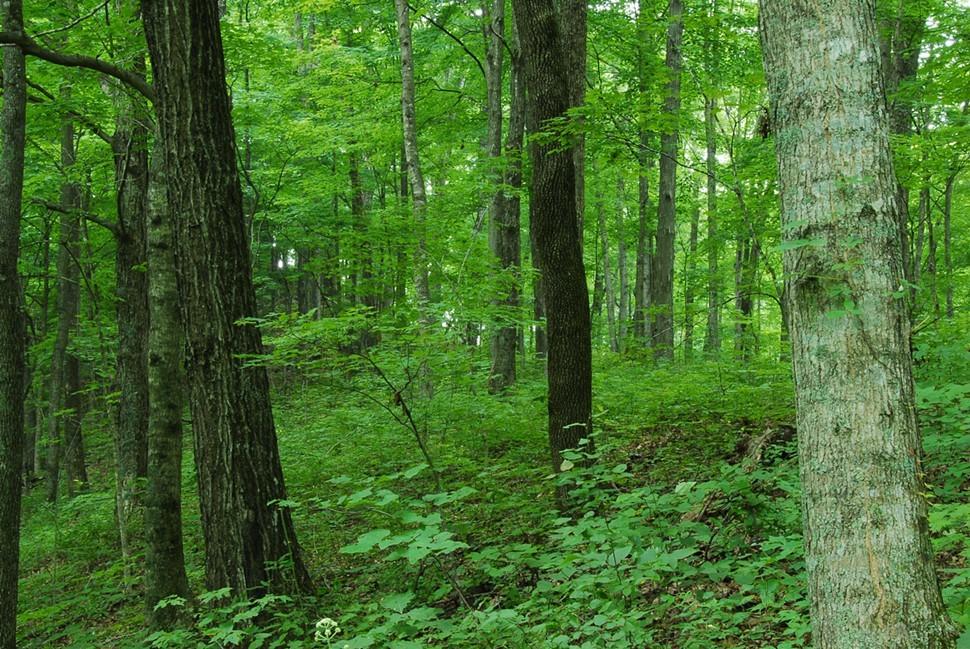 Hardwood_forest.jpg