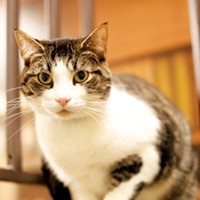 Mr. Rogers' Neighborhood Junior (#A215751) 3-year-old male tabby and white cat • At MAS since March 6th • Neutered Justin Fox Burks