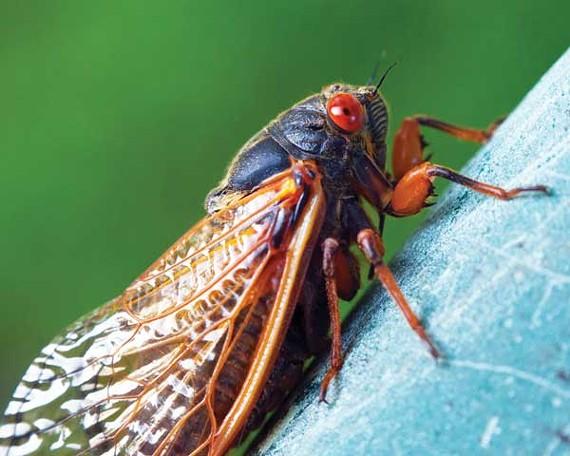 flyby_cicada.jpg