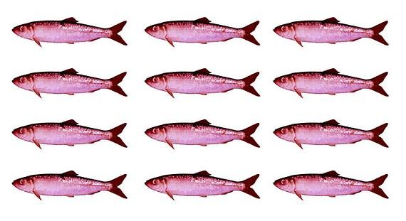 herrings.jpg