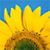 sunflower_jpg-magnum.jpg
