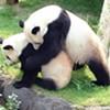 Panda Pregnancy Test