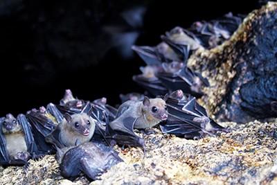 Residents of the East Buntyn neighborhood are building bat houses. - TOLITSAYALA | DREAMSTIME.COM