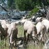 Going Off the Grid and Lunching with Big Horn Sheep