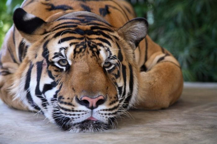 sad_tiger.jpg