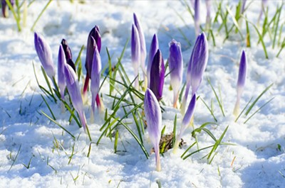 spring-flower-and-snow.jpg