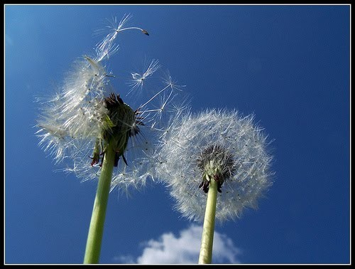 dandelion_fuzz_by_marino_at_flickr.jpg