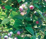 Tifblue rabbiteye blueberries: great for jam, pancakes, syrup, and cakes