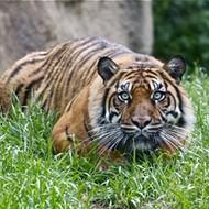Tigers 48, SMU 10