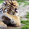 Tigers Lose to Saint Louis, 61-54