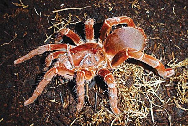 werec_tarantula.jpg