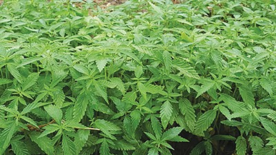 Some fine (and legal!) Tennessee hemp. - TENNESSEE DEPARTMENT OF AGRICULTURE