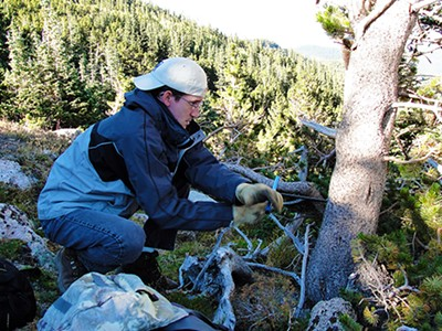 Dr. Burnette coring a bristlecone pine tree in Colorado for a tree-ring project. - DAVID KABELIK