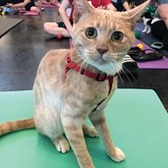 Humane Society Event Offers Yoga with Kittens