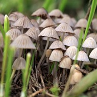 New Group Pushes for Reforms on 'Magic Mushrooms'