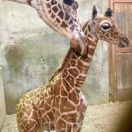 Total Memphis Move: Zoo Names New Baby Giraffe for Ja Morant