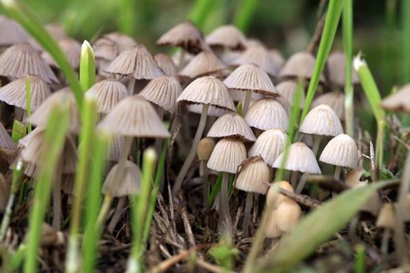 """Psilocybin, or """"magic"""" mushrooms. - JOHNS HOPKINS UNIVERSITY"""