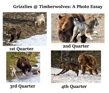 grizz-at-twolves-bear-essay-1024x924.jpg