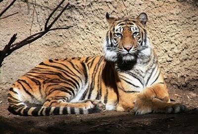 Baha, a Sumatran tiger, had been part of the Sacramento Zoo's collection for 15 years. - SACRAMENTO ZOO