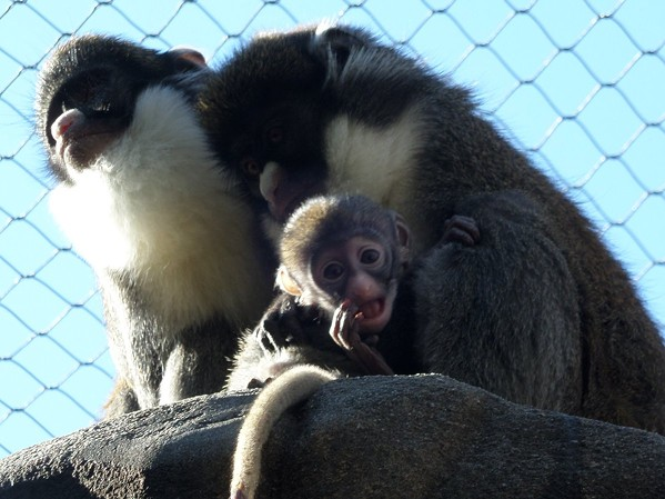 """""""Benjamin"""" and his mother, """"Thimble,"""" shortly after he was born in January 2016. - MEMPHIS ZOO TWITTER"""
