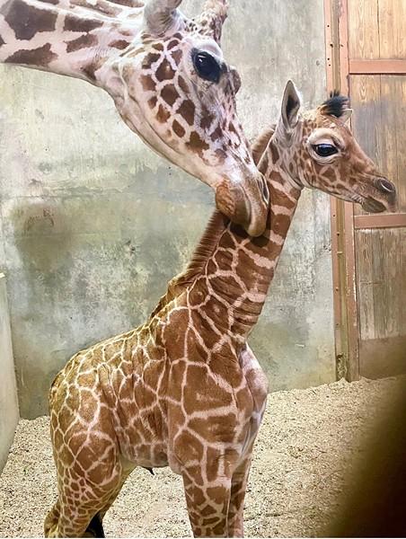 Ja Raffe was born last Tuesday, November 10th. - MEMPHIS ZOO