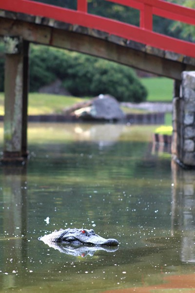 One of two alligator decoys now in Memphis Botanic Garden's Koi Pond. - MEMPHIS BOTANIC GARDENS