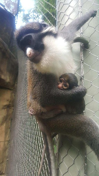 Baby Spot-nosed Guenon Grommet with his mother Thimble