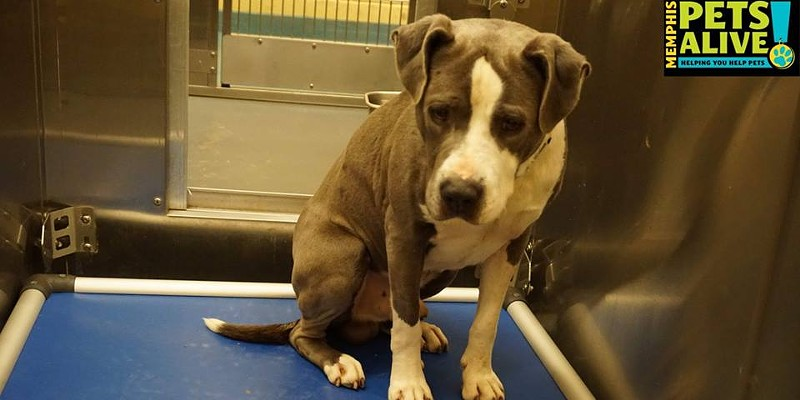 Memphis Pets of the Week (Feb. 16-22) #A293516 Male, 2 years, 70 lbs, HW + Intake: 2/3/17 Review Date: 2/7/17 I'm located at Memphis Animal Services  901-636-1416 Ext 2