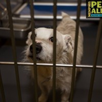 """Memphis Pets of the Week (March 2-8) #A292309 """"Loki"""" Neutered Male, 1 year 2 months, 64 lbs HEARTWORM NEGATIVE! RETURN Review Date: 2/28/17 I'm located at Memphis Animal Services  901-636-1416 Ext 2"""