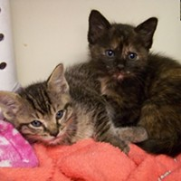 Memphis Pets of the Week (March 2-8) #A294009 - Male #A294010 - Female 2 months, 1.2 lbs Intake: 2/28/17 Review Date: 3/4/17 I'm located at Memphis Animal Services  901-636-1416 Ext 2