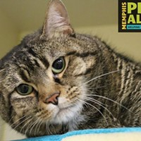 """New Slideshow #A286589 """"Denda"""" Spayed, 3 yrs, 13.2 lbs FEL/FIV NEGATIVE Intake 4/7/2017 Review 4/7/2017 ***OWNER SURRENDER*** Memphis Animal Services, 901-636-1416, Ext 2"""