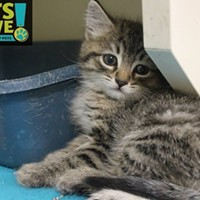 Memphis Pets of the Week (April 20-26) Went to Foster Home!  #A295043 Unknown Sex, 1.2 lbs FELV/FIV pending Intake 4/13/2017 Review 4/13/2017 Memphis Animal Services, 901-636-1416, Ext 2