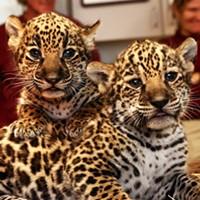 MEMernet: Baby Jaguars, Nextdoor's Trick-or-Treat Map