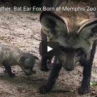 New bat-eared foxes were born at the Memphis Zoo.