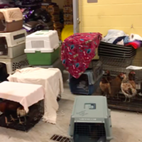 A Memphis Animal Services Facebook video shows dozens of chicken cages seized in a cockfighting arrest.