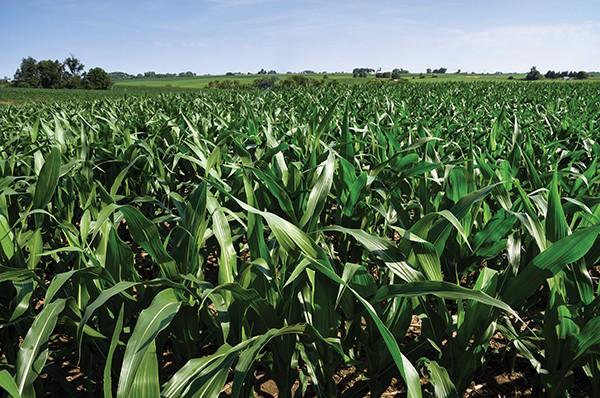 Candidates of the corn - PANCAKETOM   DREAMSTIME.COM