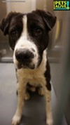 #A310853 Male, 3 years, 57 lbs HW + Review Date: 2/8/19 I'm located at Memphis Animal Services  901-636-1416 Ext 2