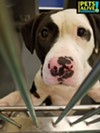 BABY #A314664 MAS Volunteer Favorite! Female, 1 y/o, 48 lbs Heartworm NEGATIVE Review Date: 6/14/19 I am at the Memphis shelter 901-636-1416 x2 — in Memphis, Tennessee.