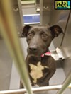 **Urgent** LADY #A313943 Female, 2 y/o , 35.7 lbs Heartworm POSITIVE Review Date: 5/24/19 I am at the Memphis shelter 901-636-1416 x2 — in Memphis, Tennessee.