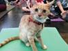 Are you as flexible as a feline? Find out at the Humane Society's kitten yoga.